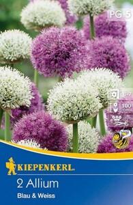 Kiepenkerl Herbstblumenzwiebel Allium Blau & Weiß ,  Allium x Hybrida, Inhalt: 2 Stück