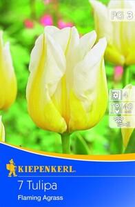 Kiepenkerl Blumenzwiebel Tulpe Flaming Agrass ,  Tulipa x Hybrida, Inhalt: 7 Stück