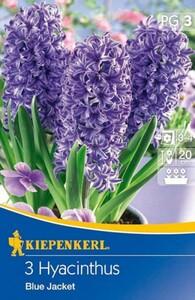 Kiepenkerl Herbstblumenzwiebel Hyazinthen Blue Jacket ,  Hyacinthus orientalis, Inhalt: 3 Stück