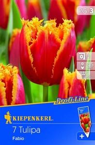 Kiepenkerl Blumenzwiebel Tulpe Fabio ,  Tulipa x Hybrida, Inhalt: 7 Stück
