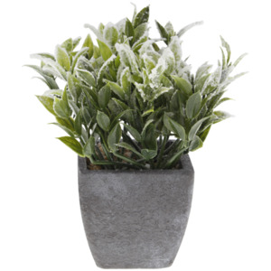 Kräuterpflanze
