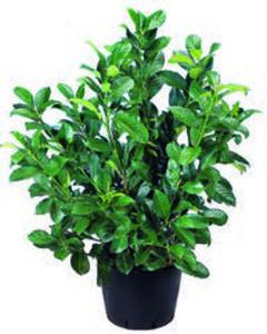 Immergrüne Heckenpflanzen