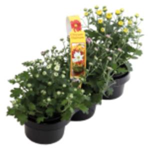 Chrysanthemen oder Calluna
