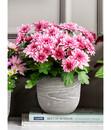 Bild 1 von Chrysantheme 'Rainbow Pink Secret'