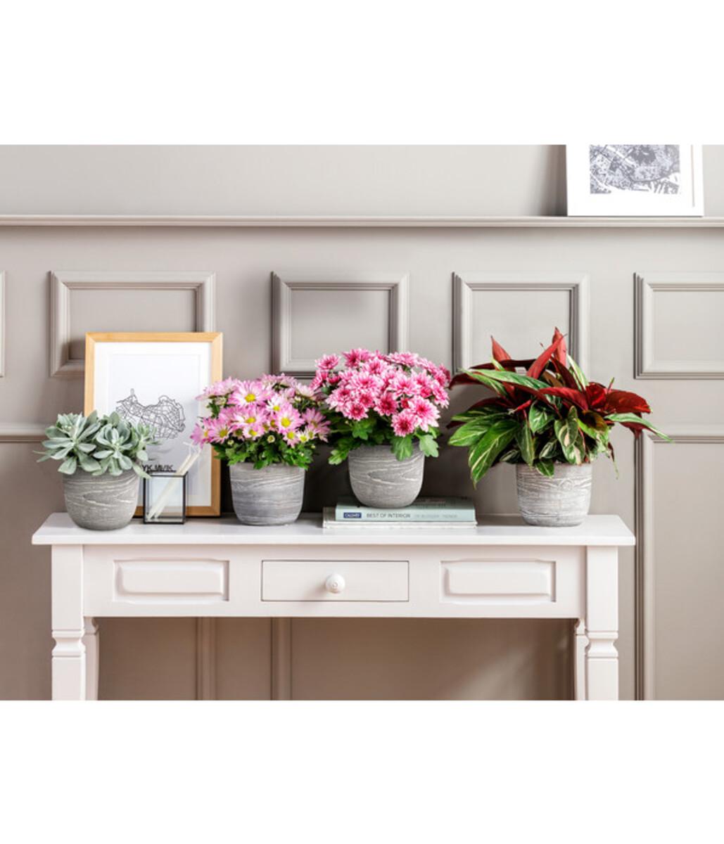Bild 2 von Chrysantheme 'Rainbow Pink Secret'