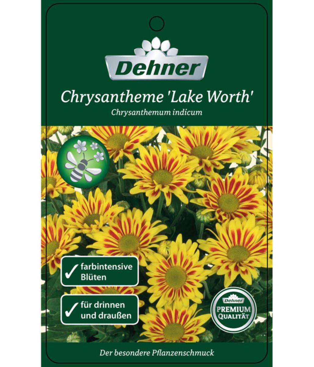 Bild 2 von Chrysantheme 'Lake Worth'
