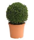 Bild 1 von Buchsbaumkugel - Gewöhnlicher Buchs