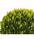 Bild 2 von Buchsbaumkugel - Gewöhnlicher Buchs