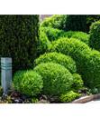 Bild 3 von Buchsbaumkugel - Gewöhnlicher Buchs