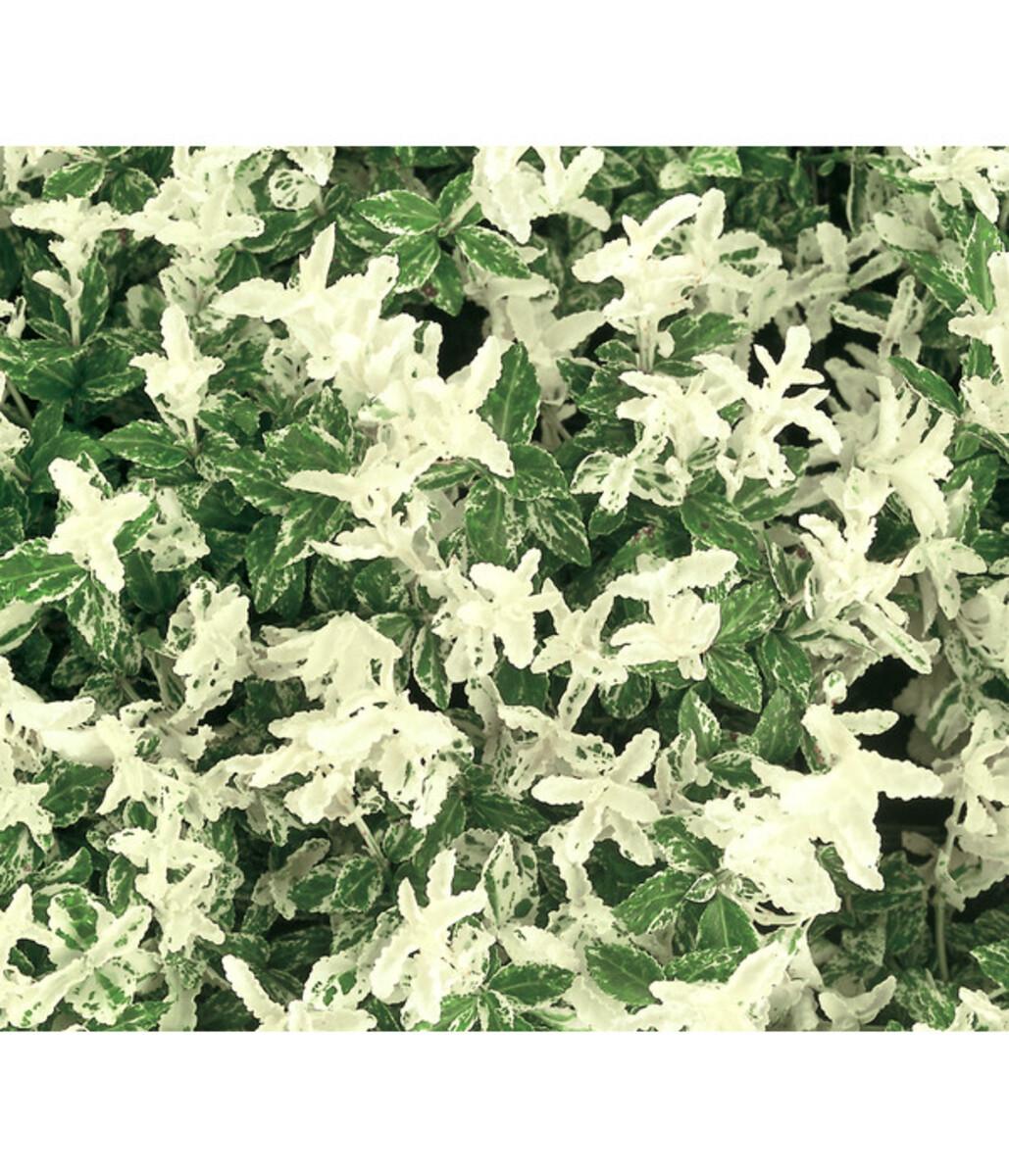 Bild 1 von Kriech-Spindelstrauch 'Harlequin'