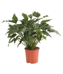 Baumfreund - Philodendron 'Xanadu'