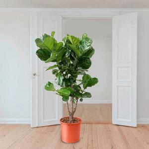 Verzweigte Geigenfeige (Ficus lyrata), 170–180 cm