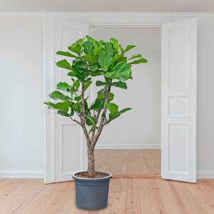 Geigenfeige (Ficus lyrata), 180–190 cm