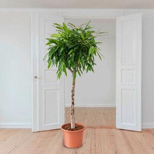 Birkenfeige (Ficus binnendijkii Amstel King), 170–190 cm