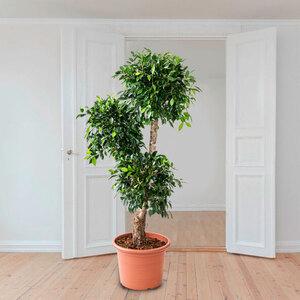 Birkenfeige (Ficus nitida), 170–180 cm