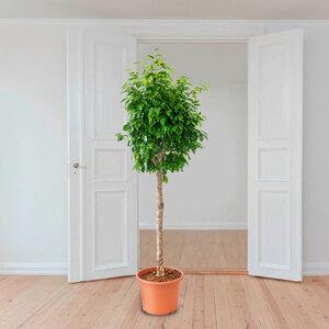 Birkenfeige (Ficus columnar), 180–190 cm