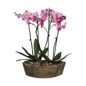 GARDENLINE®  Orchideen-Arrangement