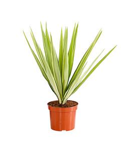 Gelbbunte Kerzen-Palmlilie 'Variegata'