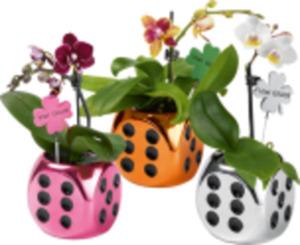 Mini Orchideen im Glückswürfel
