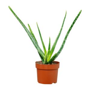 GARDENLINE     Aloe vera