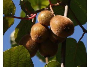 Kiwi »Hayward« und »Atlas«, 2 Kletterpflanzen, süß-säuerlich, saftig, reich an Vitamin-C