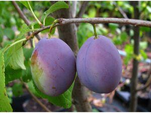 Hauszwetsche, Obstbaum, Prunus domestica, winterhart, selbstfruchtend, bis 4,5 m Wuchshöhe