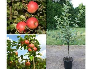Apfelbaum »Alkmene« und »James Grieve«, 2 Sorten, süß-säuerlich, 300 - 400 cm Wuchshöhe