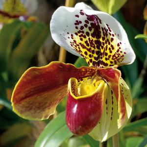 """Orchidee Frauenschuh """"Paphiopedilum"""""""