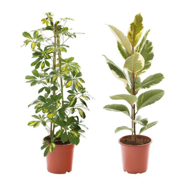 GARDENLINE     Grünpflanze
