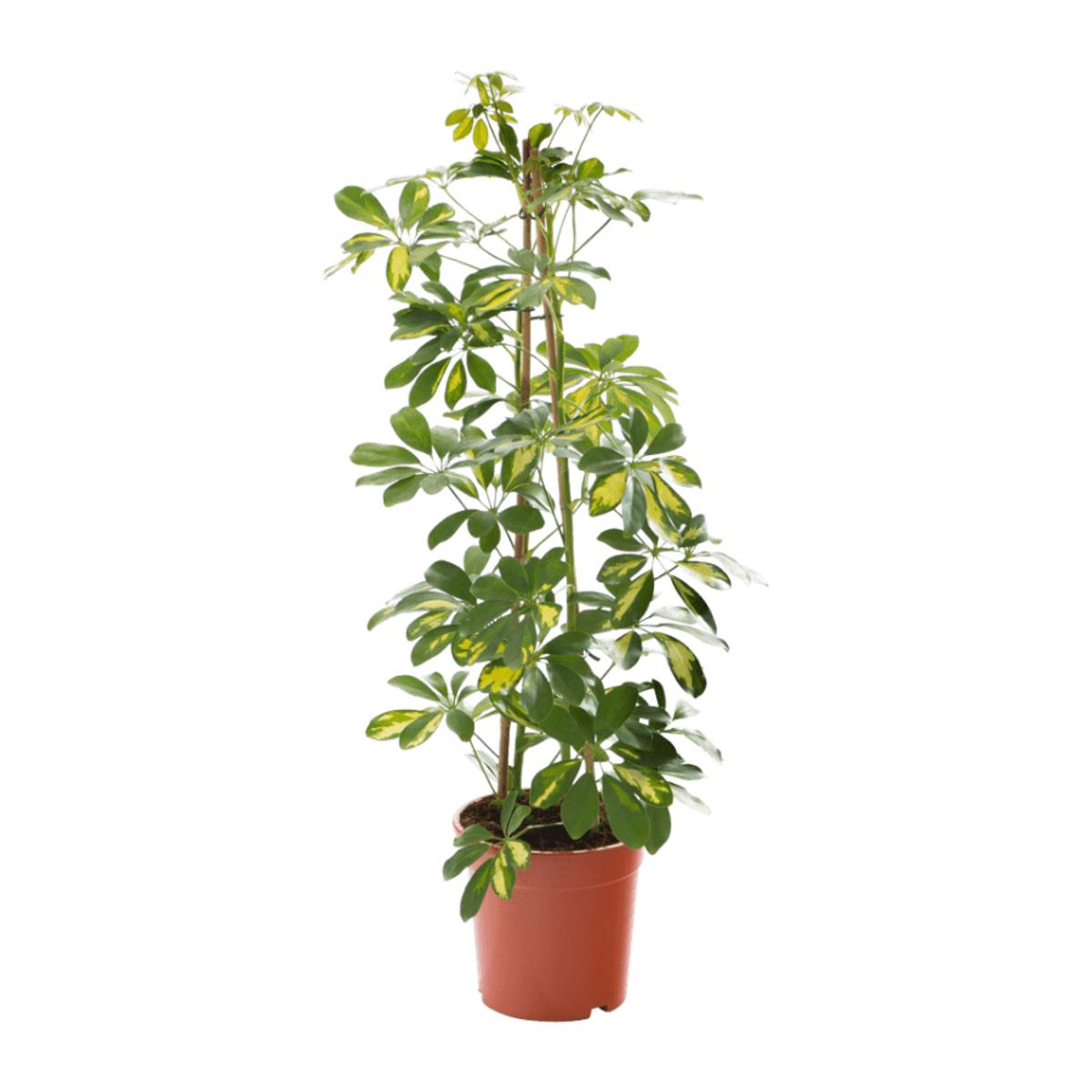 Bild 2 von GARDENLINE     Grünpflanze
