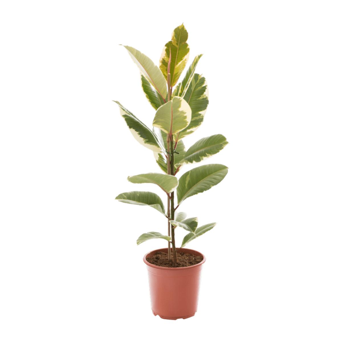 Bild 4 von GARDENLINE     Grünpflanze