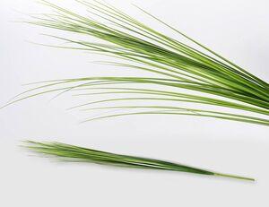 Gräserrispe Isolepsis