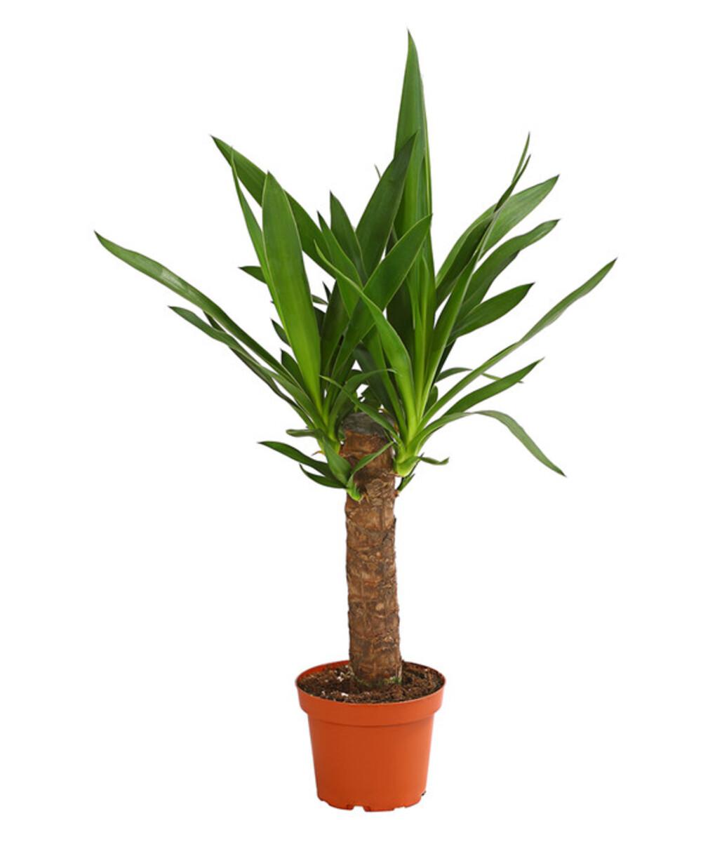 Bild 1 von Riesen-Palmlilie - Yucca-Palme