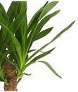 Bild 2 von Riesen-Palmlilie - Yucca-Palme