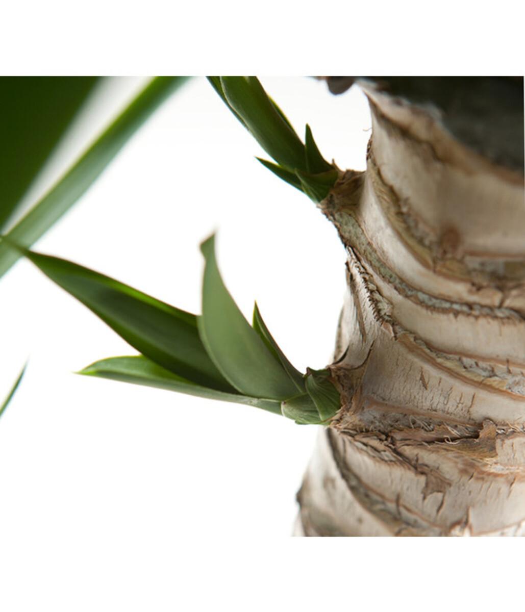 Bild 3 von Riesen-Palmlilie - Yucca-Palme