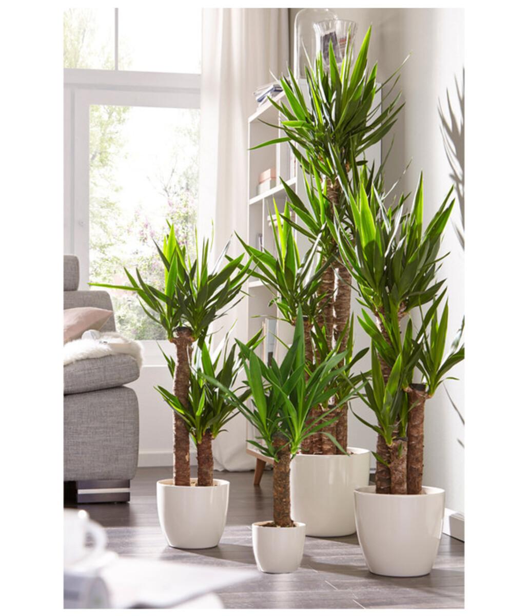 Bild 4 von Riesen-Palmlilie - Yucca-Palme