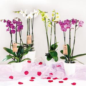"""Orchidee """"Phalaenopsis"""""""