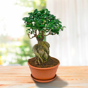 Chinesische Feige (Ficus microcarpa Ginseng)