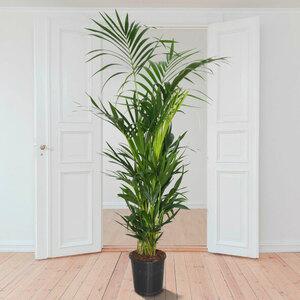 Kentia-Palme (Howea forsteriana), 180 cm