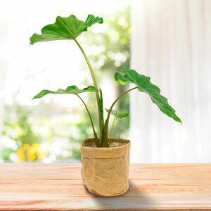 Grünpflanze im Jute-Bag (Alocasia boa), 70 cm