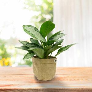 Grünpflanze im Jute-Bag (Alocasia Wentii), 55 cm