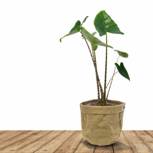 Grünpflanze im Jute-Bag (Alocasia Zebrina), 55 cm