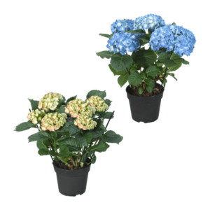 GARDENLINE     Hortensie (Hydrangea macrophylla)