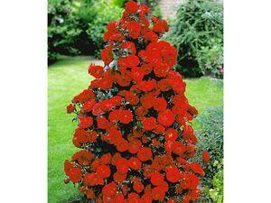 Rote Duft-Strauchrosen, 1 Pflanze