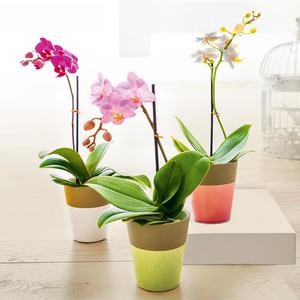 Finest Garden Mini-Orchidee