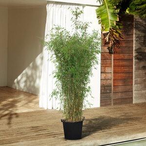Bambus Black Cherry, 200–220 cm