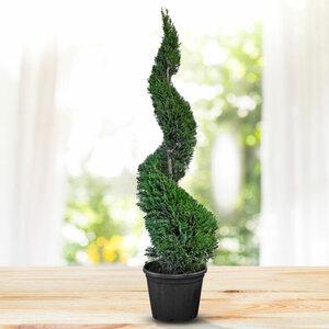 Leyland-Zypresse, spiralförmig