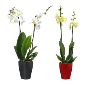 GARDENLINE     Phalaenopsis (Schmetterlingsorchidee)