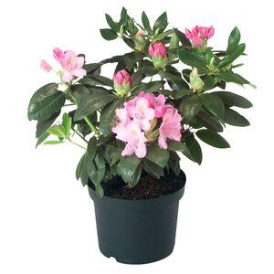 GARDENLINE®  Rhododendron