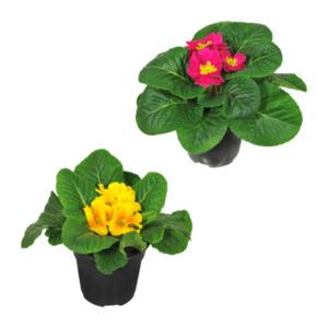 GARDENLINE     Frühlingspflanze